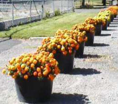 Row of Marigold flowers